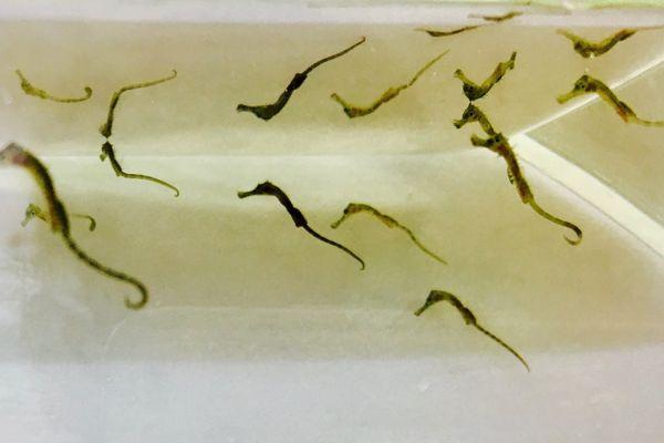 En tout, une vingtaine de petits hippocampes sont nés.