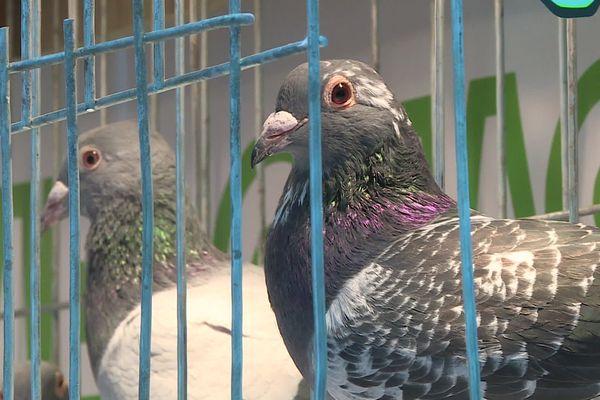 Des pigeons présentés lors du congrès national de colombophilie, le 18 janvier à Saint-Quentin.