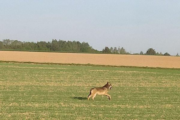 Le loup vu à Conie-Molitard en Eure-et-Loir le 22 avril 2020