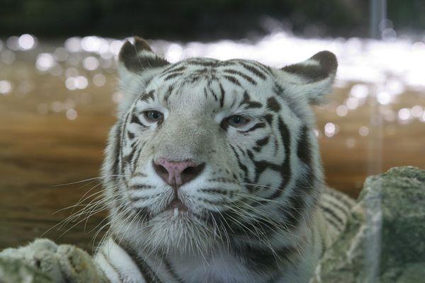 Le tigre blanc Sherkan est décédé ce mercredi 9 septembre au zoo de Beauval.