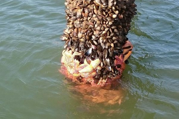 Dans la baie de la Vilaine, les moules de bouchot se font dévorer par les étoiles de mer.