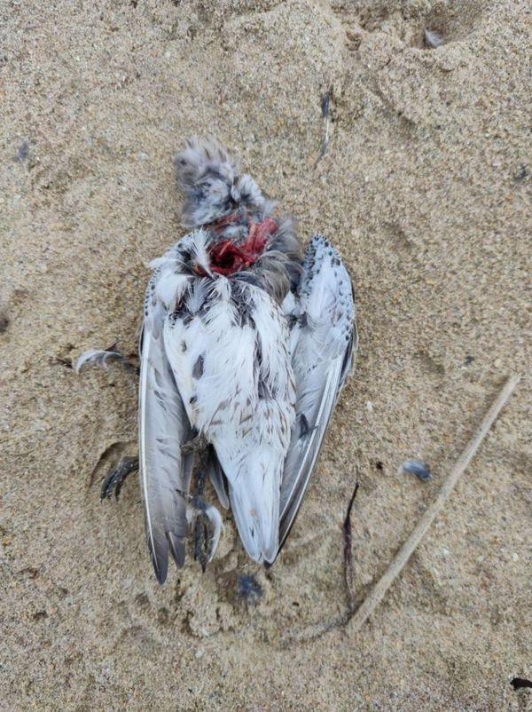 l'un des nombreux oiseaux migrateurs retrouvés morts sur la plage de Saint-Pair sur Mer