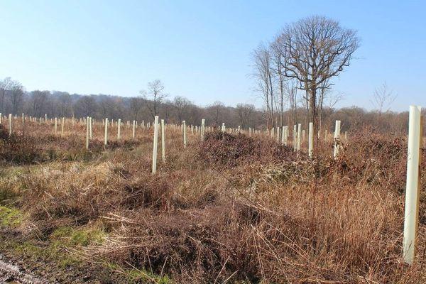 Donc, l'ONF a recours à une régénération artificielle coûteuse, avec des plants inadaptés au sol et au climat (plus de 50% d'échec)… Des arbres bien alignés. Et la ronce qui commence à proliférer. On laisse un « arbre remarquable » pour faire croire que l'on s'intéresse…
