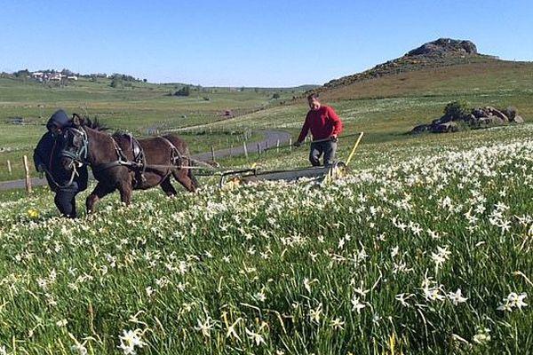 Lozère - la récolte des narcisses sur l'Aubrac - mai 2015.