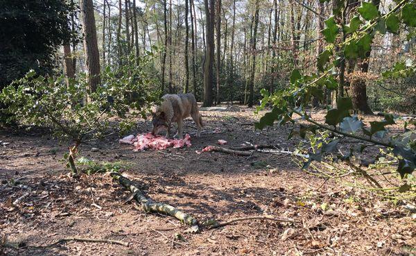 Le parc Argonne Découverte, caché dans la forêt, abrite une meute de loups gris d'Europe, l'attraction depuis quelques années