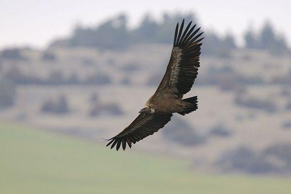 D'après les agriculteurs, le vautour-fauve serait responsable de plusieurs attaques de troupeaux dans l'Aubrac.