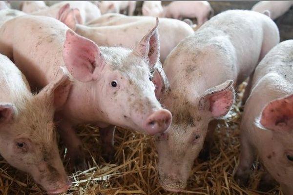 Aucun cas de peste porcine africaine n'a été détecté en France à ce jour