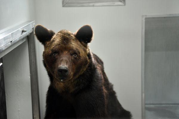 L'ours Mischa fin 2019, après avoir été retiré à ses propriétaires.