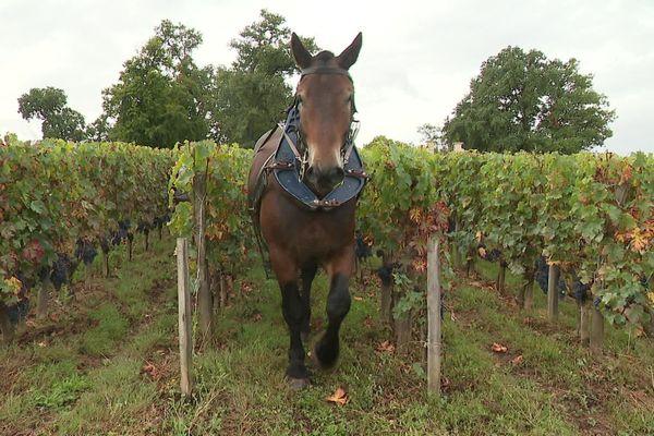 Les chevaux de trait peuvent être utile dans les vignes et remplacer les tracteurs sans polluer.