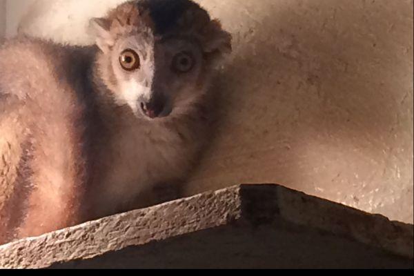 Mahery  le jeune Lémur qui vient d'arriver à la réserve zoologique de Calviac