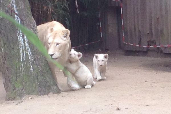 Les deux lionceaux et leur mère au zoo de la Flêche
