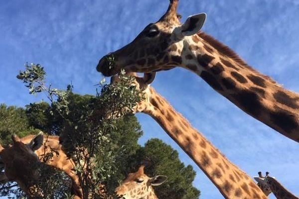 31 girafes sont nées à la Barben depuis 1993.