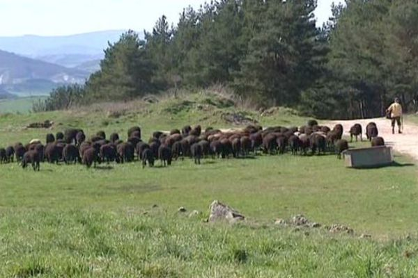 Alors que les brebis rejoignent les pâturages, les éleveurs de Haute-Loire restent très préoccupés par le retour du loup et craignent de nouvelles attaques.