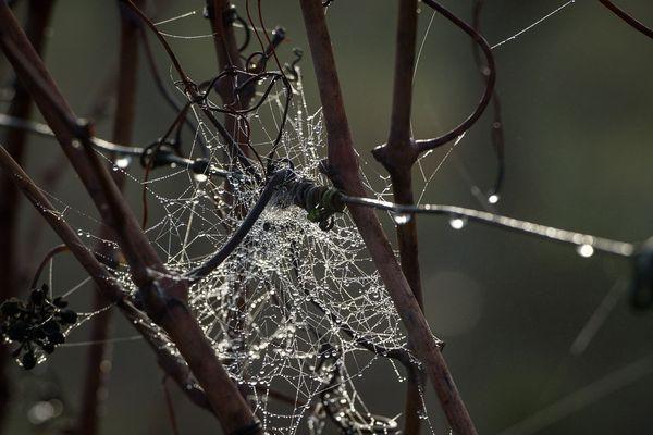 Des sarments de vignes, sous la pluie (photo d'illustration).
