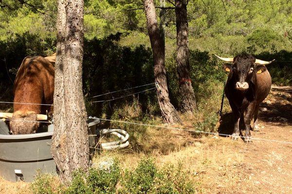 Depuis 10 ans, un éleveur de vaches laisse ses vaches divaguer dans les jardins, les vignes ou au milieu des habitations. Le maire de Trausse Minervois interpelle le Préfet.