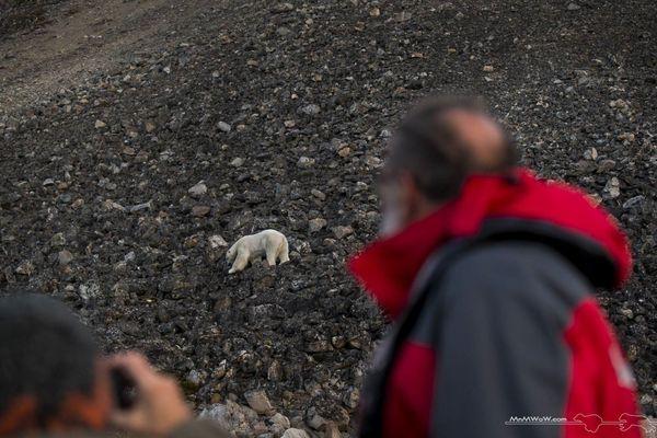 L'ancien biologiste et géographe observe minutieusement les ours polaires