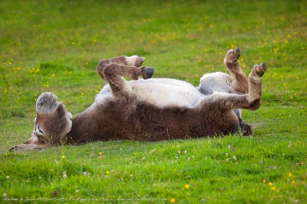 Un âne optimiste et patient attend l'arrivée du soleil dans une prairie bretonne...
