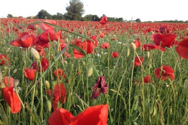 Un champ de coquelicot dans le Gard
