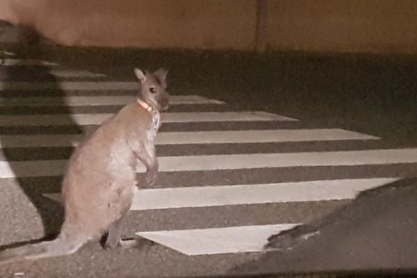 Un kangourou capturé par les gendarmes dans les rues de Muret près de Toulouse