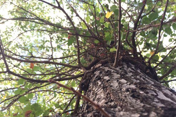 Avec deux sécheresses consécutives en 2018 et en 2019, les arbres ont été mis à rude épreuve.