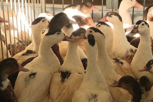 Les canards vont pouvoir être déconfinés après plusieurs semaines de claustration.
