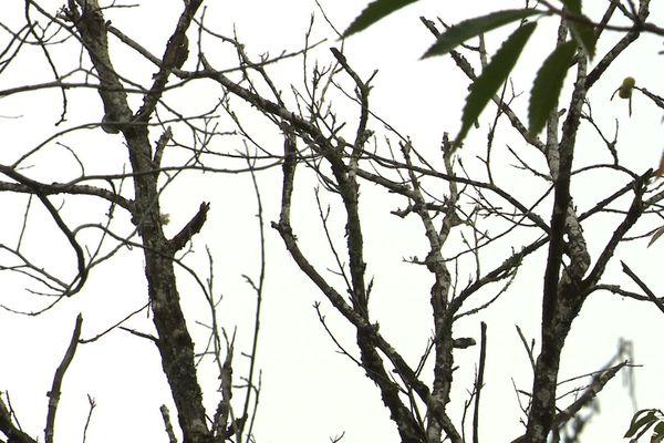 Les châtaigniers sont comme calcinés dans cette forêt à Brossac (Charente).
