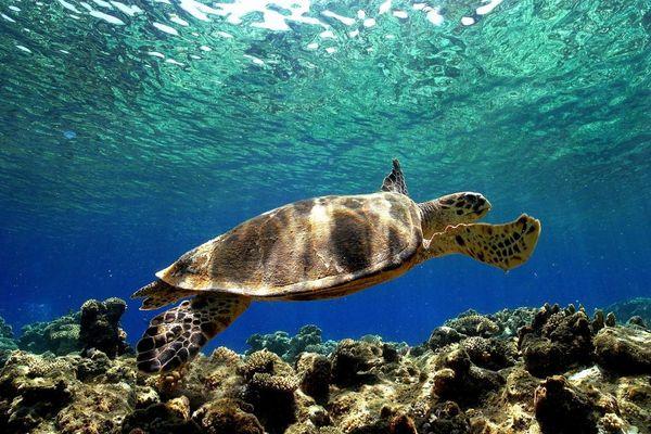 Tortue marine de l'espèce Caretta Caretta, ou tortue caouanne (Archives)