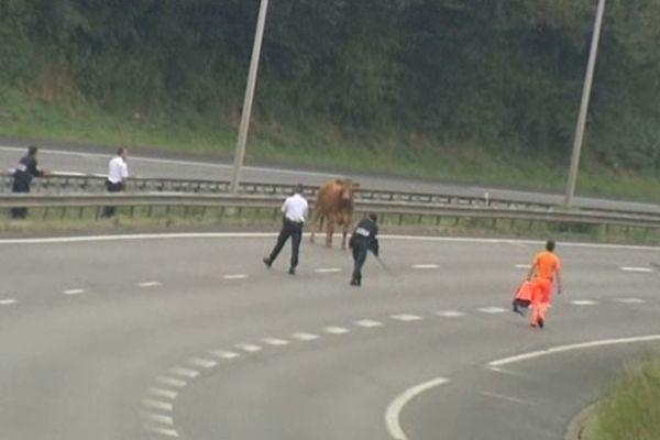 Vache sur autoroute A20, mardi 18 septembre