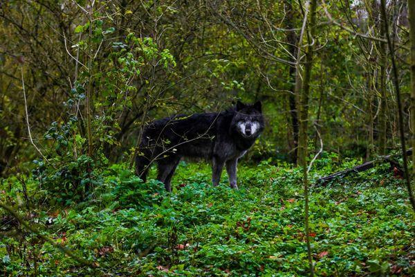 Le sanctuaire des loups de Béatrice Gérardot accueille également des loups en provenance de Saint-Martin-Vésubie comme ici Drakkar.