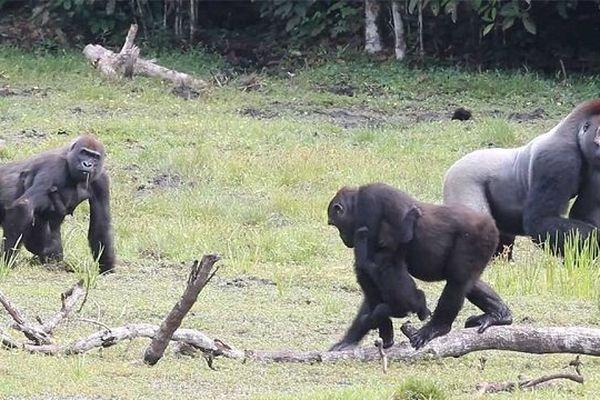 Gorilles des plaines de l'ouest, observés pendant une précédente mission