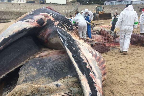 La baleine échouée à Batz-sur-Mer a été découpée par les spécialistes de Pelagis