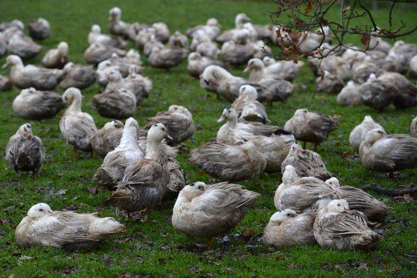 Dans quatre communes du Gers, les volailles et autres oiseaux captifs doivent être maintenus dans leurs exploitations dans des lieux permettant leur confinement et leur isolement.