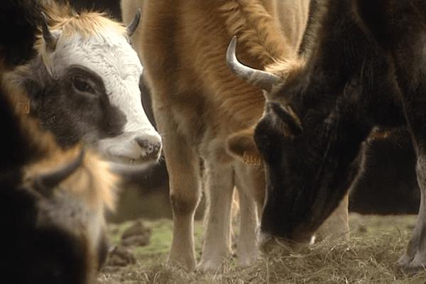 Elevage de vaches dans le centre de la Corse (illustration).