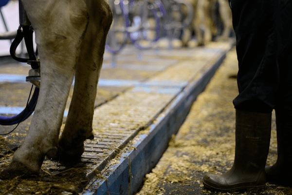 Les bovins consomment 45 tonnes de foin, 122 tonnes de fourrage, 4 tonnes d'aliments concentrés. Une vache laitière boit jusqu'à 100 litres d'eau quotidiennement.