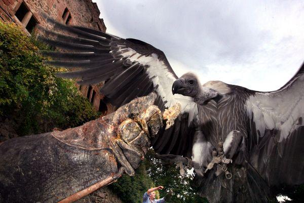 Un vautour de la volerie de Kintzheim, lors d'une démonstration de vol.