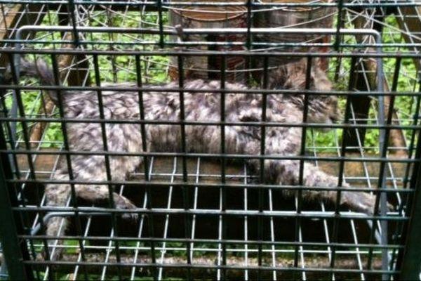 Un cadavre de chat forestier, une espèces protégée
