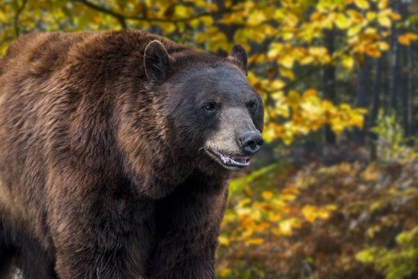 Ours des Pyrénées (Ursus arctos arctos) en forêt en automne.