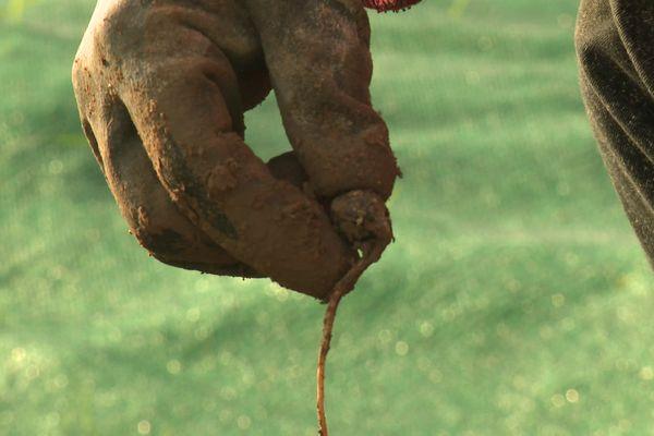Dans la pépinière de Clément Crété à Lafresguimont-Saint-Martin dans la Somme, les glands des chênes sont plantés en pleine terre pour qu'ils germent.