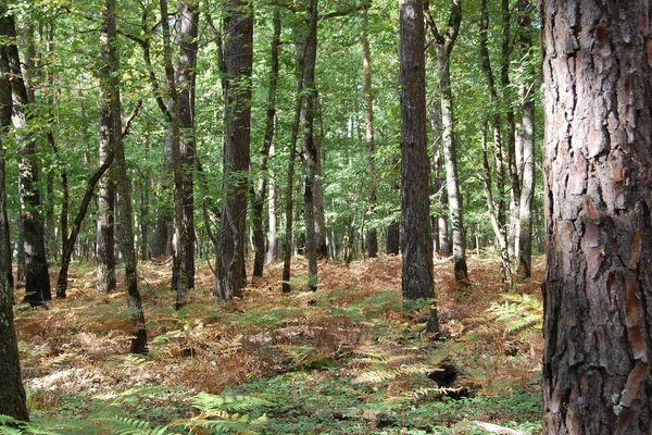 Mélange de chênes et de pins dans la forêt d'Orléans