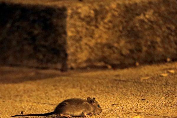 Image d'illustration de rat dans la ville