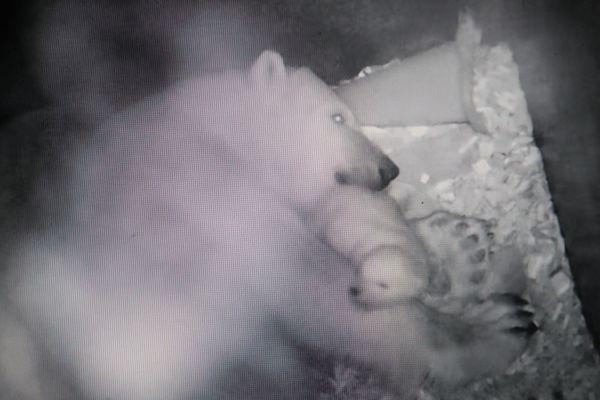 Le deuxième ourson polaire de Sesi, né le 22 novembre dernier, est au chaud avec sa maman dans sa tanière.