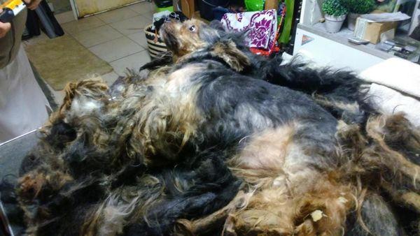 Ardennes Le Calvaire De Bob Le Petit Yorkshire Enferme 9 Ans Dans Une Cave Juge Au Tribunal De Police