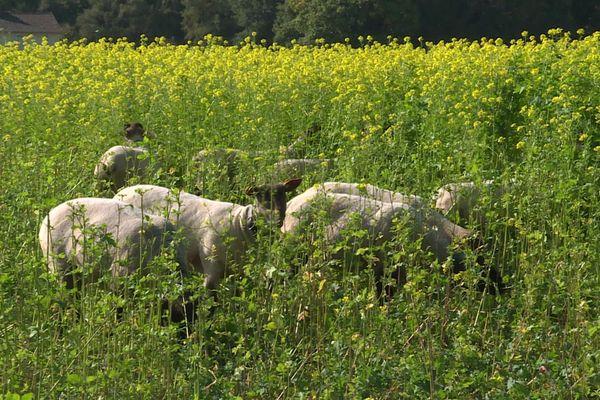 Moutons dans une parcelle en jachère à Maulévrier-Sainte-Gertrude (Seine-Maritime)