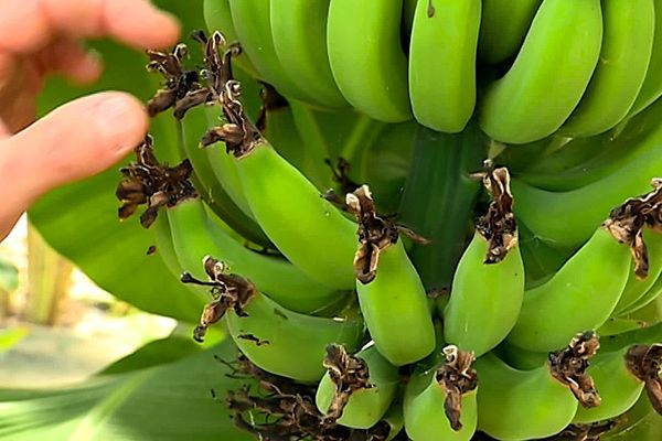 Des bananes bio et des fruits de la passion produits dans les Pyrénées-Orientales.