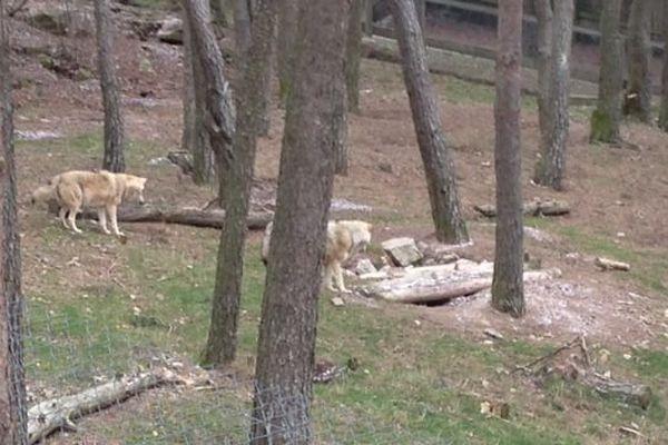 Les loups échappés du parc de Sainte-Lucie viennent de Mongolie et ont été élevés en captivité.