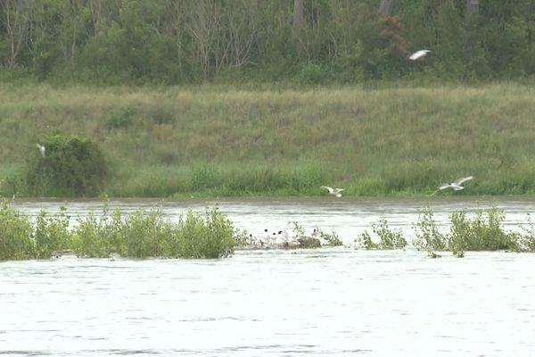 Les sternes, oiseaux emblématiques de la Loire, ont vu les zones sableuses où elles ont l'habitude de nicher recouvertes par la crue de ce début de semaine.