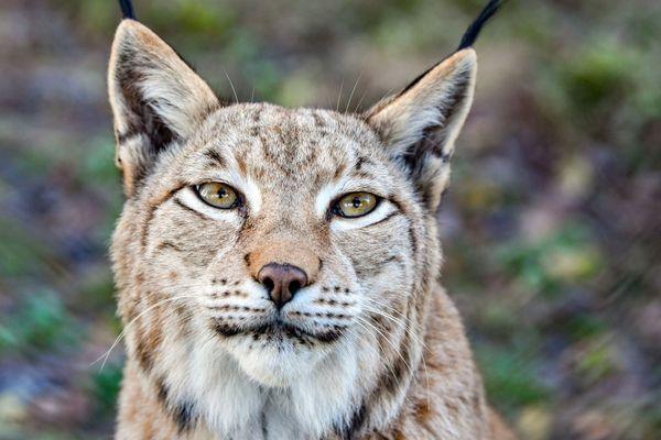 Une femelle lynx - image d'archives