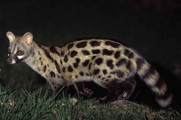 Illustration. C'est une Genette commune comme celle-ci qui a été aperçue dans les Calanques de Marseille par des agents du parc.