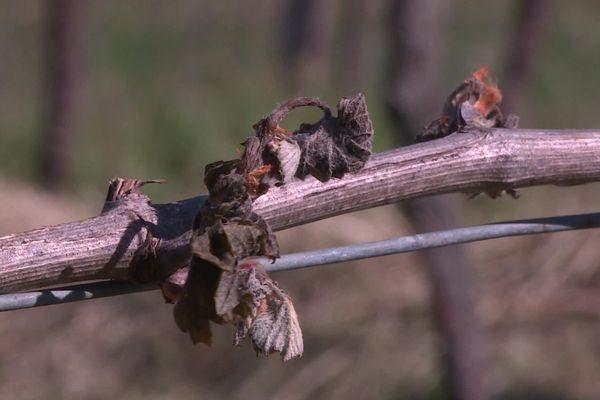 Les vignes de Jean Mage, producteur de vin paillé à Brivezac, dévastées au lendemain de la vague de gel la semaine passée.