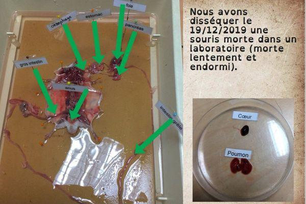 Extrait du travail de dissection donné à un groupe d'élèves de 5ème du collège Pierre-de-Ronsard de Poitiers. Dans la légende de ce travail, on s'inquiète tout de même sur le décès de l'animal. Est-il mort avant d'être endormi ?